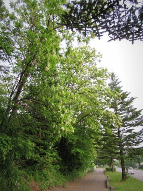 初夏の白い花 * ニセアカシア ~ ツツジ ~ ヤマボウシ_f0236260_22371565.jpg