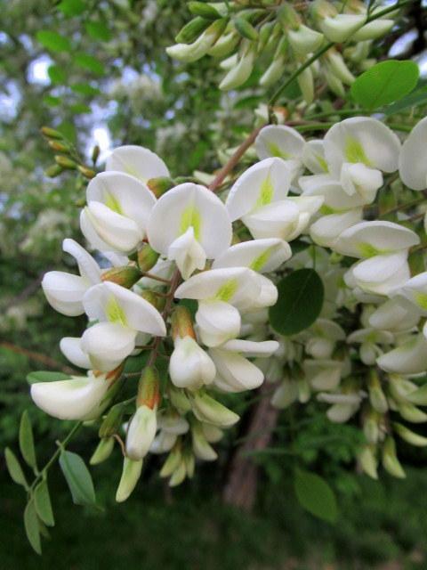 初夏の白い花 * ニセアカシア ~ ツツジ ~ ヤマボウシ_f0236260_22390965.jpg