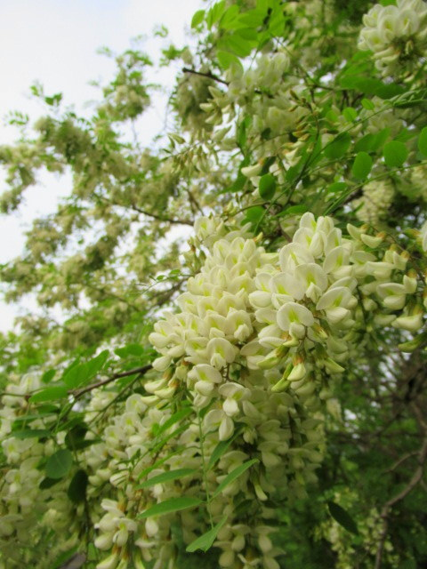 初夏の白い花 * ニセアカシア ~ ツツジ ~ ヤマボウシ_f0236260_22400079.jpg