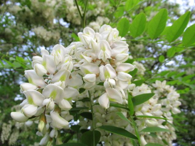 初夏の白い花 * ニセアカシア ~ ツツジ ~ ヤマボウシ_f0236260_22411130.jpg
