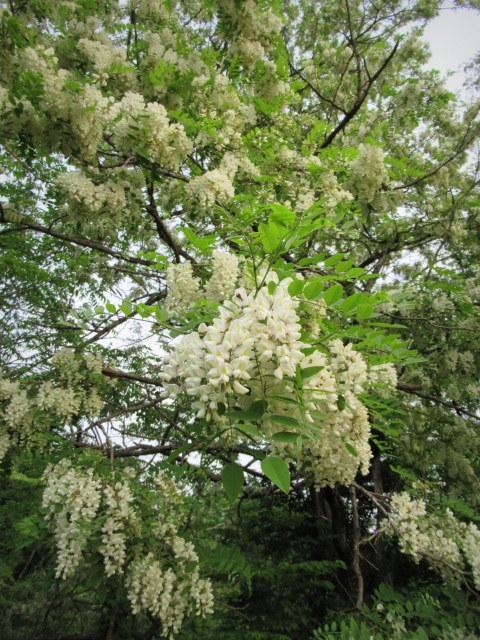初夏の白い花 * ニセアカシア ~ ツツジ ~ ヤマボウシ_f0236260_22415295.jpg