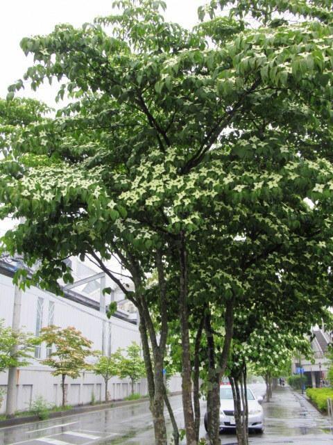 初夏の白い花 * ニセアカシア ~ ツツジ ~ ヤマボウシ_f0236260_22530827.jpg