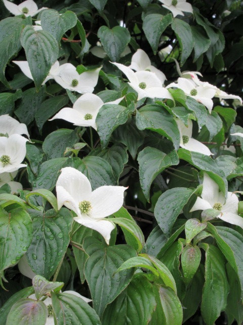 初夏の白い花 * ニセアカシア ~ ツツジ ~ ヤマボウシ_f0236260_22533590.jpg