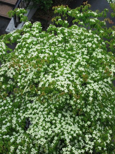 初夏の白い花 * ニセアカシア ~ ツツジ ~ ヤマボウシ_f0236260_22562730.jpg