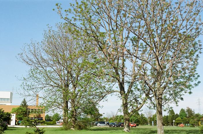 巨木ヤチダモの若葉_c0182775_17582383.jpg