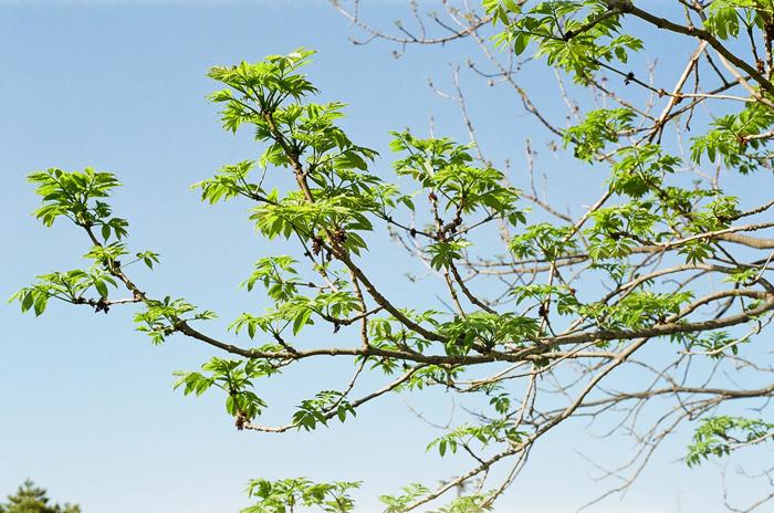 巨木ヤチダモの若葉_c0182775_182427.jpg