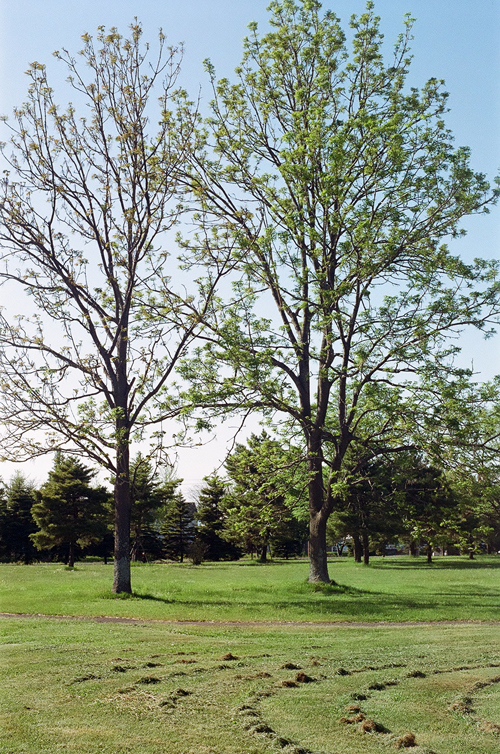 巨木ヤチダモの若葉_c0182775_1861078.jpg