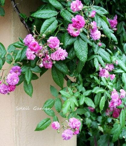 ◆素敵なお庭訪問・・・再びSさんのお庭3 & Rochetさんのお庭3_e0154682_22235042.jpg