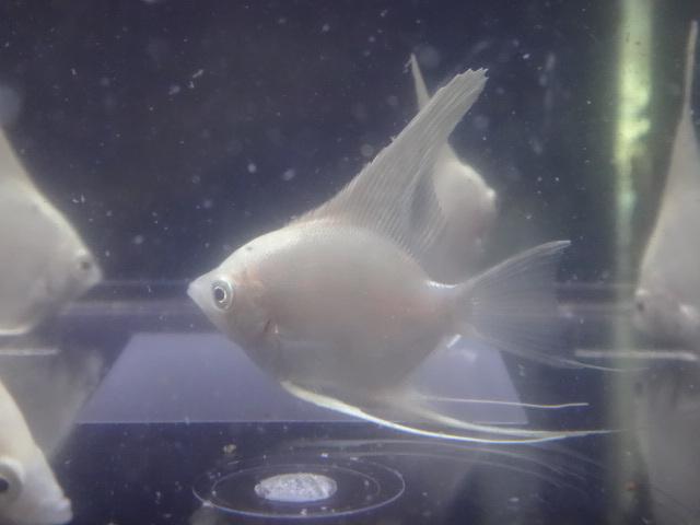 180531 熱帯魚 金魚 めだか 水草_f0189122_13073046.jpg