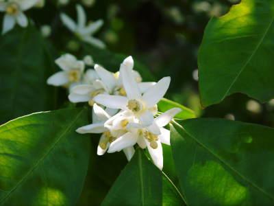 ザ・みかん 平成30年度の花の様子と極早生みかん販売中止のお知らせ_a0254656_16494265.jpg