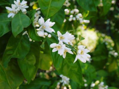 ザ・みかん 平成30年度の花の様子と極早生みかん販売中止のお知らせ_a0254656_16553217.jpg