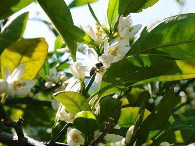 ザ・みかん 平成30年度の花の様子と極早生みかん販売中止のお知らせ_a0254656_16572072.jpg