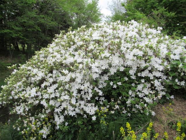 初夏の白い花 * ニセアカシア ~ ツツジ ~ ヤマボウシ_f0236260_16412128.jpg