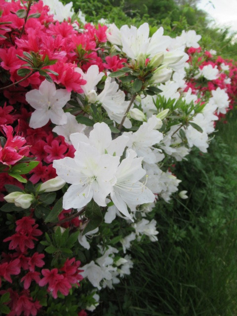 初夏の白い花 * ニセアカシア ~ ツツジ ~ ヤマボウシ_f0236260_16414279.jpg