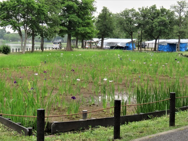 雨が似合うカタツムリとハナショウブ_d0121678_18452426.jpg
