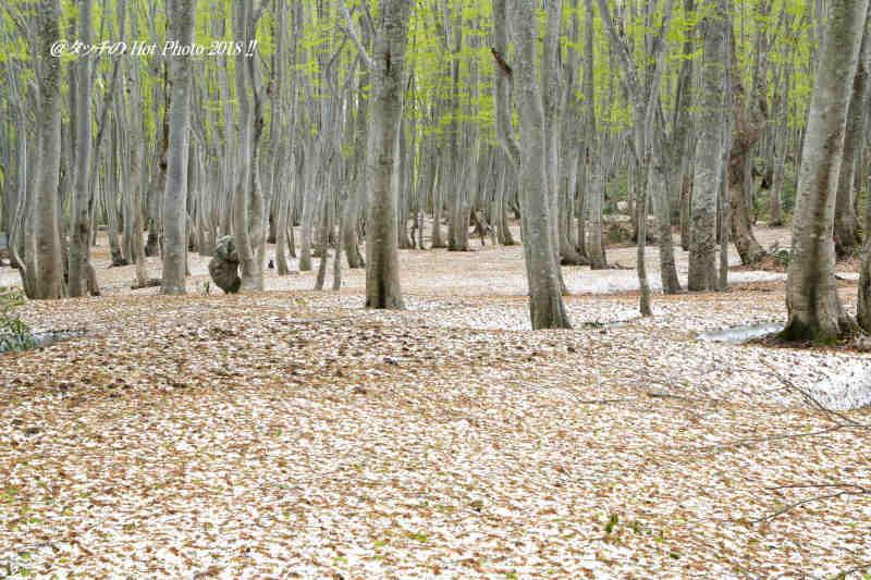 ブナの新緑と残雪_d0027893_19270554.jpg