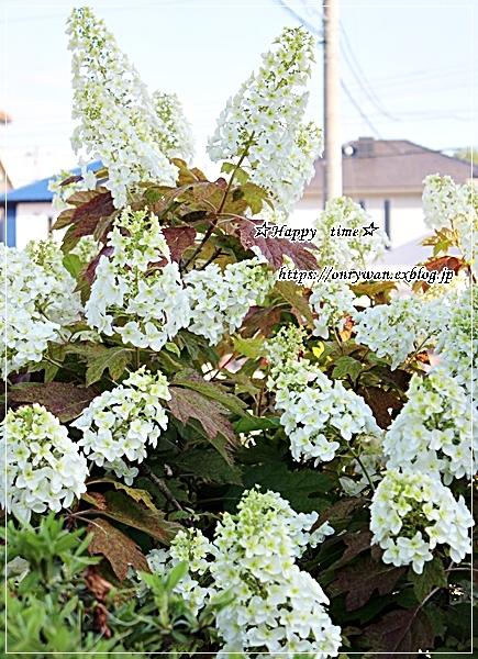 照焼きチキン弁当とカシワバ紫陽花♪_f0348032_18311854.jpg