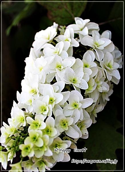 照焼きチキン弁当とカシワバ紫陽花♪_f0348032_18312611.jpg