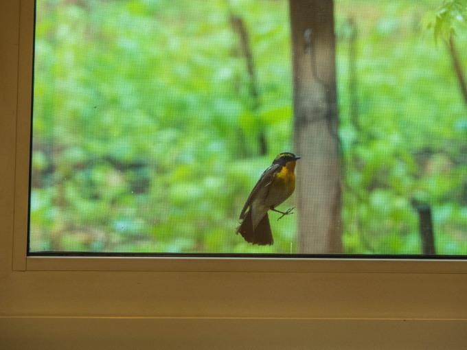 キビタキさんがカフェを覗いてる?・・新緑の季節です。_f0276498_22305250.jpg