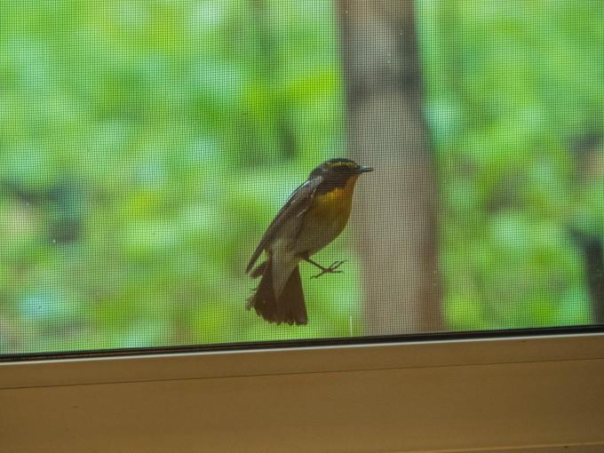 キビタキさんがカフェを覗いてる?・・新緑の季節です。_f0276498_22330604.jpg
