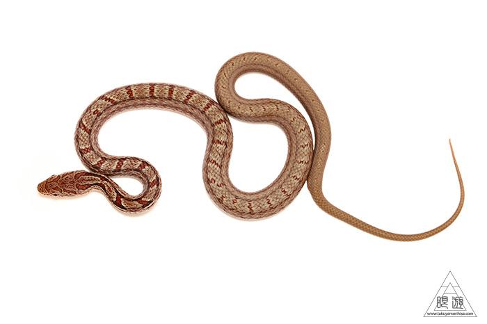 723 玉湯町 ~シマヘビの幼蛇~_c0211532_00401810.jpg