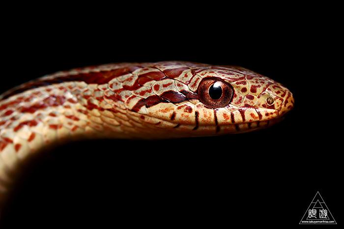 723 玉湯町 ~シマヘビの幼蛇~_c0211532_00401848.jpg