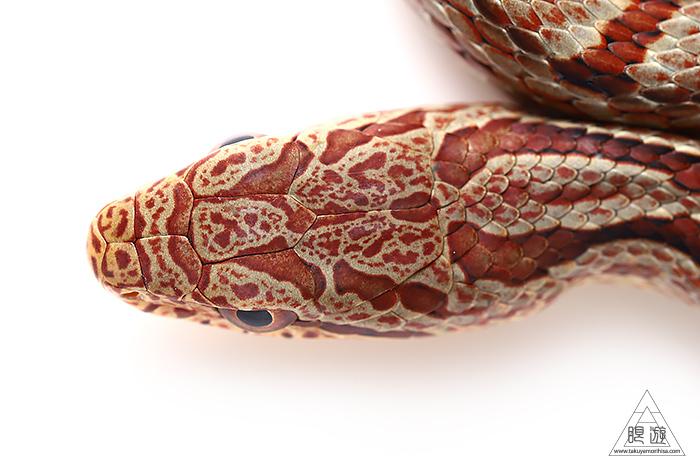 723 玉湯町 ~シマヘビの幼蛇~_c0211532_00401879.jpg