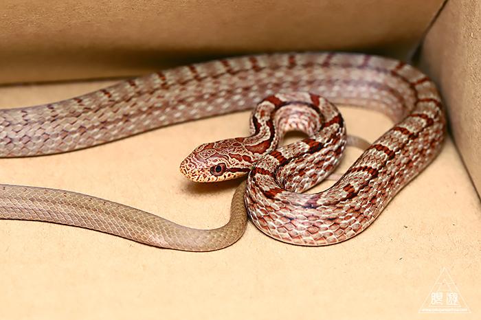 723 玉湯町 ~シマヘビの幼蛇~_c0211532_00401880.jpg