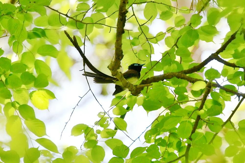 初夏の緑 サンコウチョウ アナグマ_f0053272_23483320.jpg