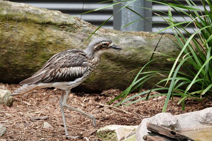 ハートリース動物園のオーストラリアイシチドリ_d0149245_22352390.jpg
