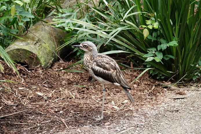 ハートリース動物園のオーストラリアイシチドリ_d0149245_22352686.jpg