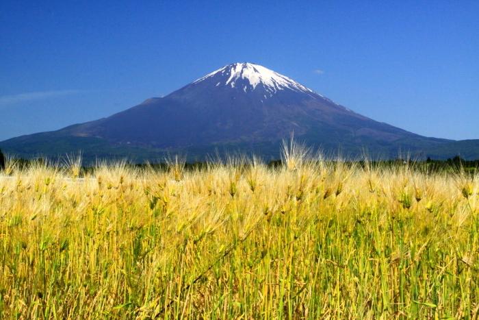 30年5月の富士(33) 麦畑と富士_e0344396_18160904.jpg