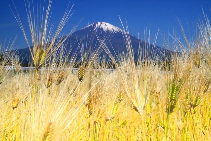 30年5月の富士(33) 麦畑と富士_e0344396_18161796.jpg