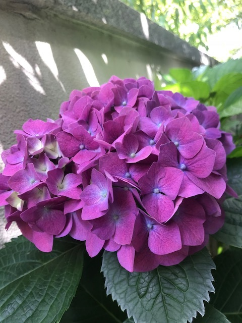 ☆紫陽花の開花☆_b0263390_15180242.jpg