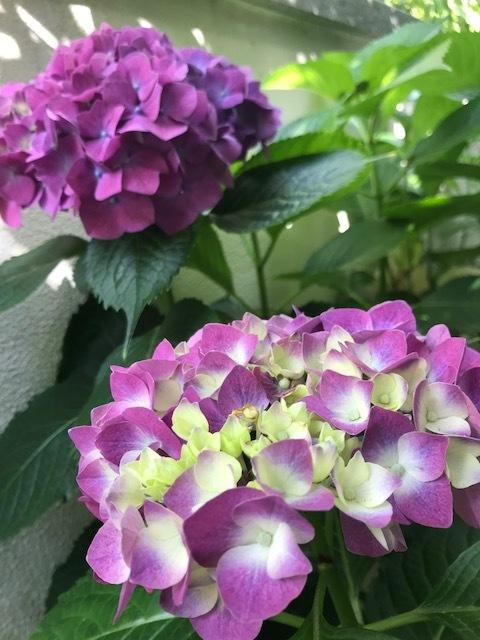 ☆紫陽花の開花☆_b0263390_15181116.jpg