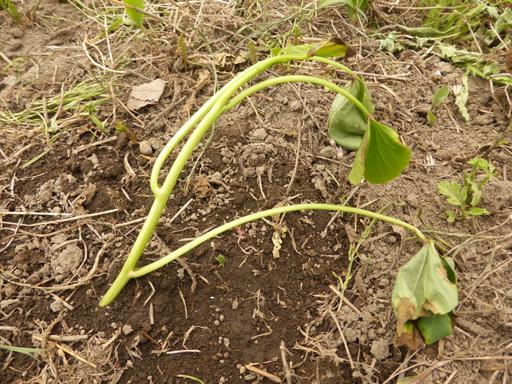 サツマイモの苗植え_d0366590_18494253.jpg