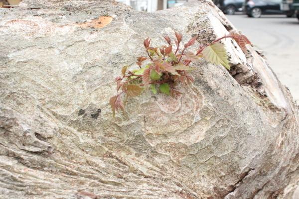 けやきの大木がやってきました!_f0227395_10080620.jpg