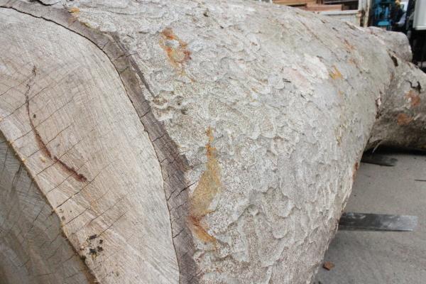 けやきの大木がやってきました!_f0227395_10081820.jpg