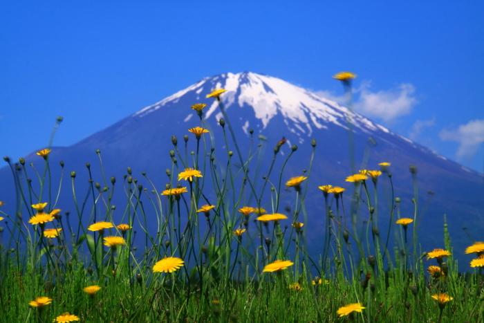 30年5月の富士(34) 野に咲く花と富士_e0344396_12272130.jpg