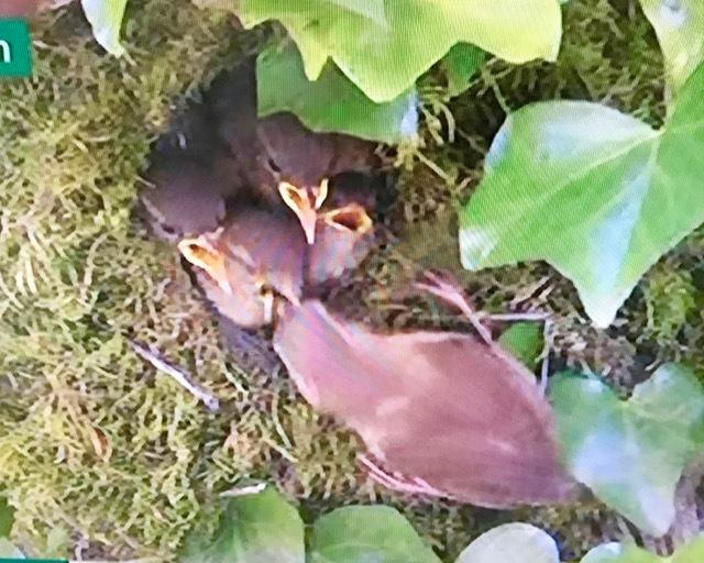 今年も鳥の巣立ちにムチュウになってます、BBCの自然番組Sprignwatch 2018_e0114020_22592576.jpg
