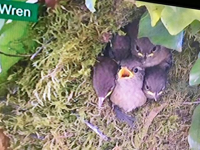 今年も鳥の巣立ちにムチュウになってます、BBCの自然番組Sprignwatch 2018_e0114020_23000619.jpg