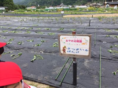 お芋の苗植え_f0324461_20440201.jpg