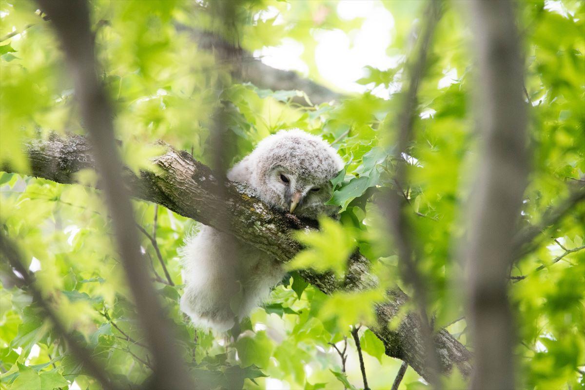眠いの、まだ寝たいの・・エゾフクロウ♡そしてハクセキレイ_b0281366_19431951.jpg