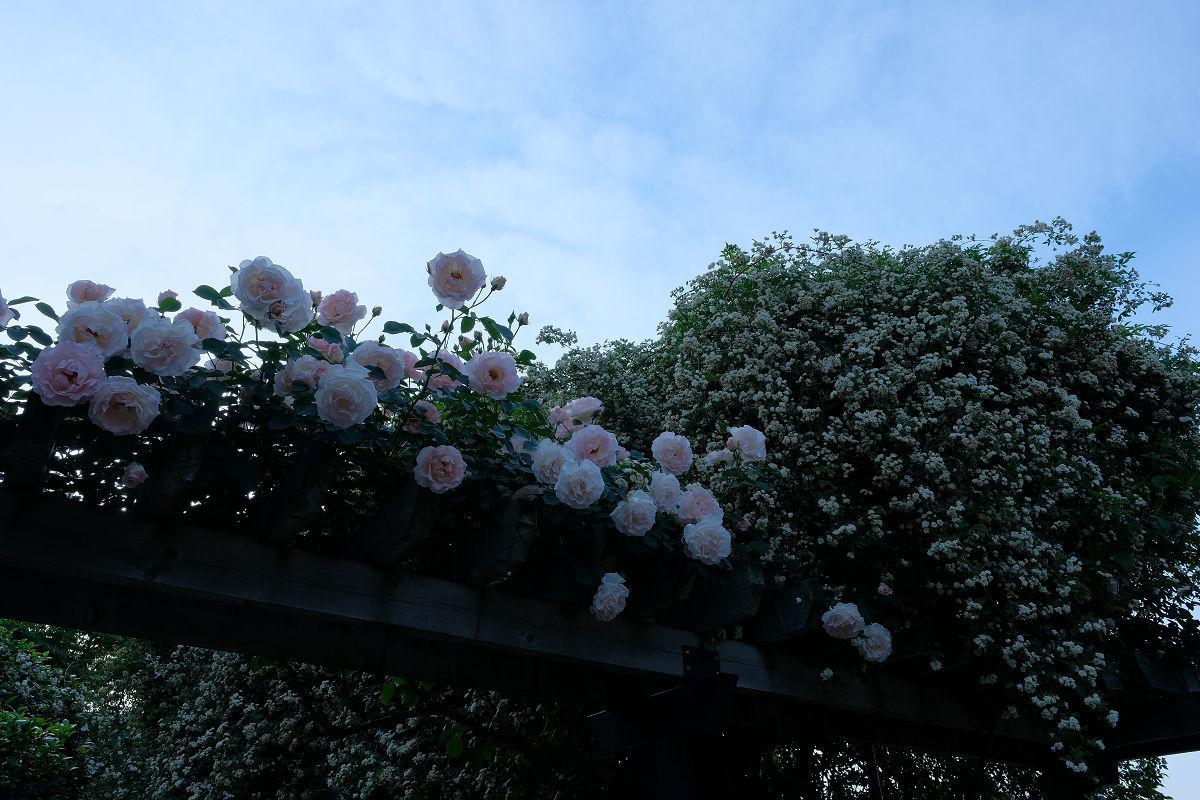 若園公園バラ園_f0021869_22550058.jpg