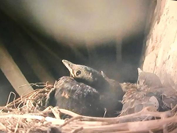 今年も鳥の巣立ちにムチュウになってます、BBCの自然番組Sprignwatch 2018_e0114020_19425431.jpg