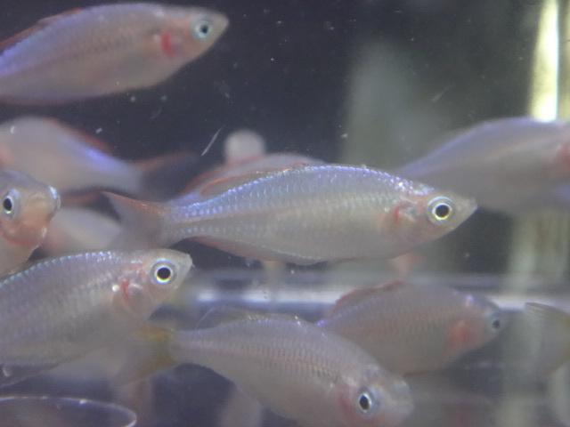 180607 熱帯魚 金魚 めだか 水草_f0189122_12584220.jpg