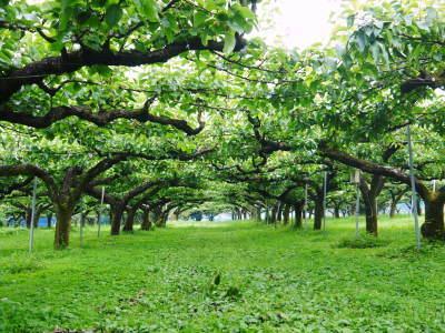 熊本梨 岩永農園 8月上旬からの出荷に向け、今年も順調に成長中!2次摘果終了後の様子_a0254656_17334557.jpg