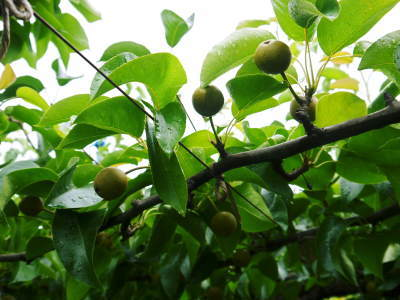 熊本梨 岩永農園 8月上旬からの出荷に向け、今年も順調に成長中!2次摘果終了後の様子_a0254656_17363618.jpg