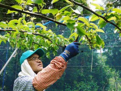 熊本梨 岩永農園 8月上旬からの出荷に向け、今年も順調に成長中!2次摘果終了後の様子_a0254656_17504809.jpg
