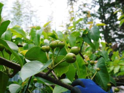 熊本梨 岩永農園 8月上旬からの出荷に向け、今年も順調に成長中!2次摘果終了後の様子_a0254656_17542010.jpg